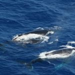 Circuit au Brésil - l'observation des baleines
